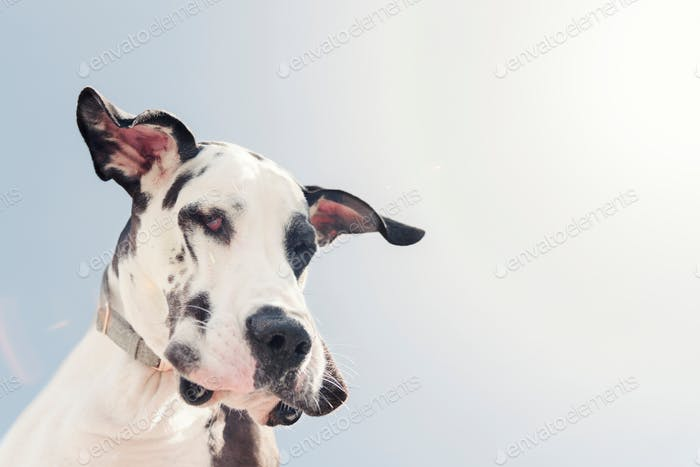 Harlequin Great Dane dog from below.