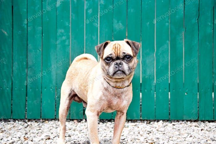 Pug. Cute doggies
