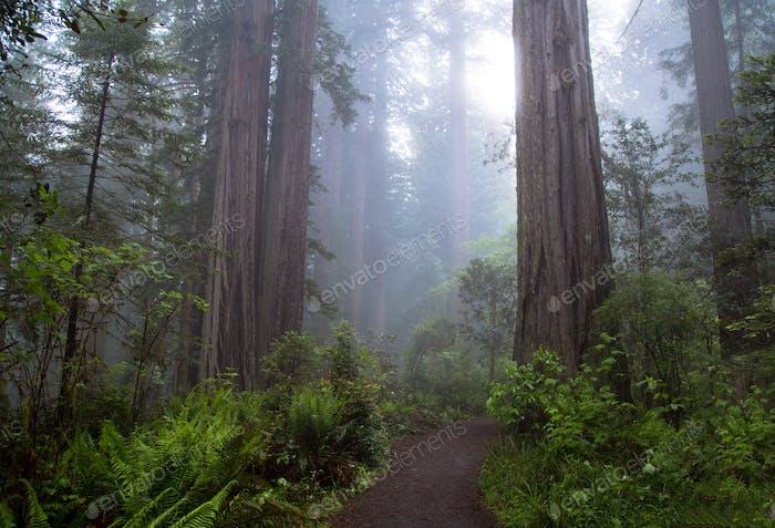 Mystischer Redwood-Wald