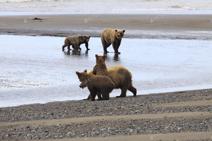 Clam diggers on the Alaskan beach