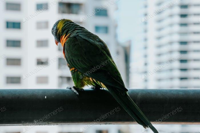 rainbow lorikeet in the city