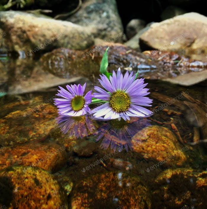 Flowers Two high altitude flowers resting peacefully  in a cool mountain stream.  Nominated💜