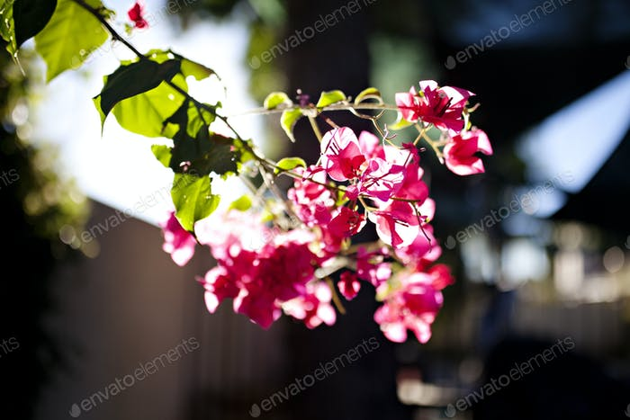 bougainvillea plant lit with beautiful sunlight