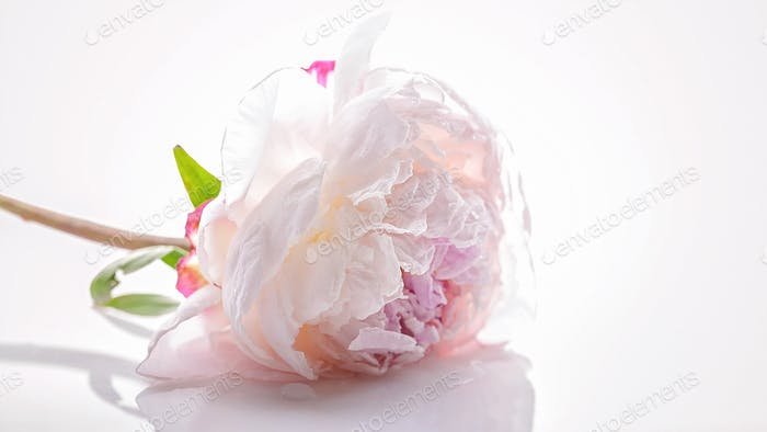 Pink peony on a white background. Isolated object. Closeup