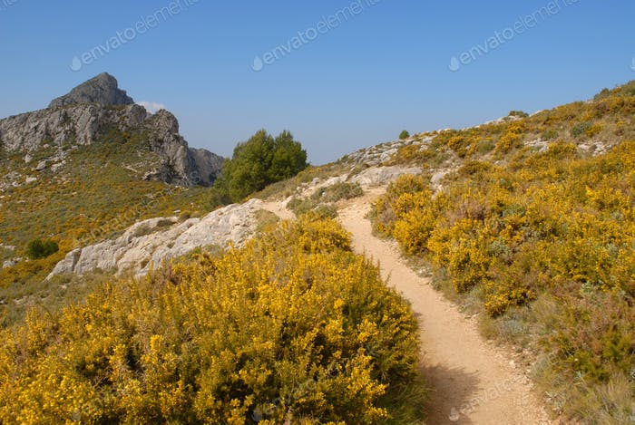 Hiking trail up in  in the Sierra Bernia  mountains with gorse in flower, Alicante Province, Spain