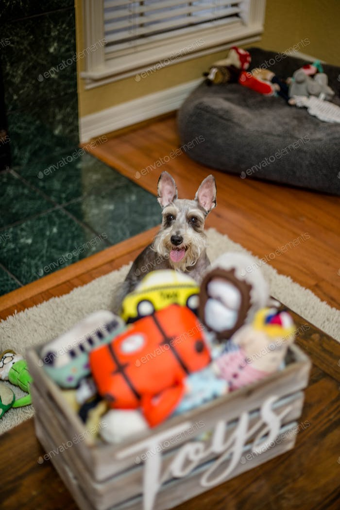 Dog inside with his toys