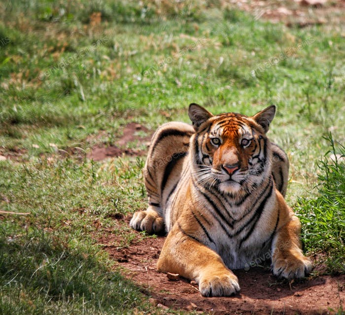 Wild tiger looking at you