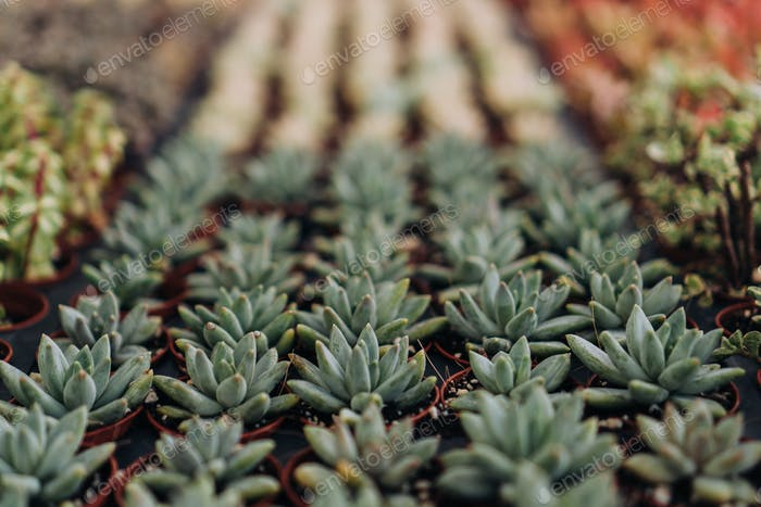 Succulents in plant nursery