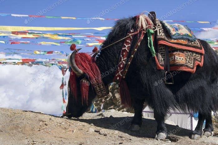 Domesticated Yak in Tibet
