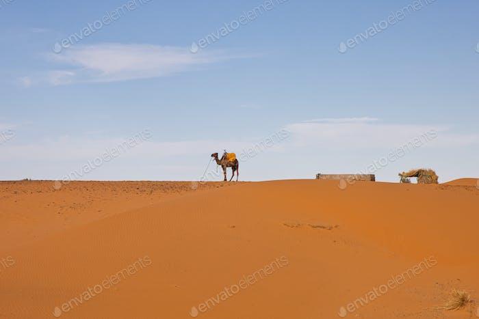A camel in the Sahara, near Merzouga Morocco