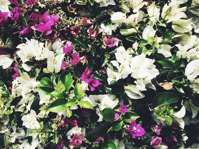 Hintergrund der weißen und violetten exotischen Thai-Blumen