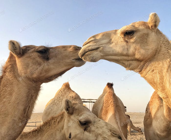 """Camels in The Wild """"...out together dancing beak to beak!"""" NOMINATED🙏😍🙏"""