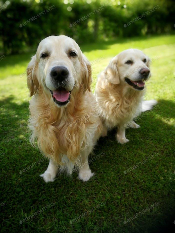 retriever cute dogs on green grass waiting