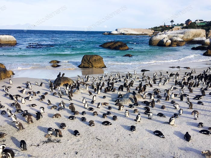 Penguin colony on Boulders beach in Simons Town, Cape Town, South Africa