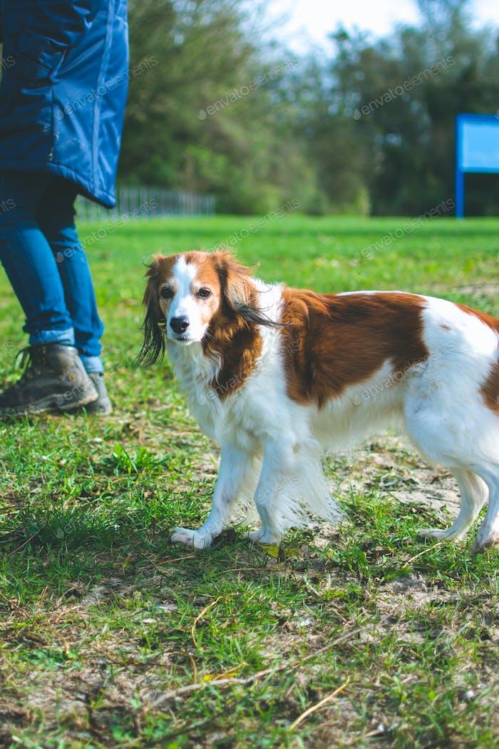 Portrait of an old dog, a loyal Dutch breed 'het Kooikerhondje' walking outside
