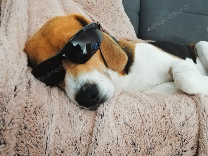 Funny image of a dog with sunglasses sleeping on couch. Beagle, hilarious, pet.