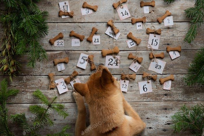 Shiba Inu Dog inspiziert einen Adventskalender aus Keksen in Knochenform. WITZIGER ADventskalender