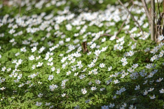 Bereich der weißen Anemonen