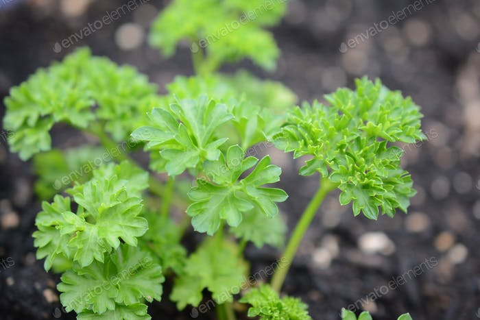 Curly parsley at the vegetable garden