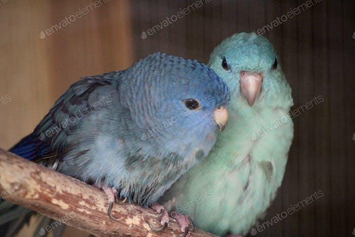 Zwei schöne blaue Vögel, blaue gefiederte Vögel, verliebte Paarvögel, Katharinasittiche