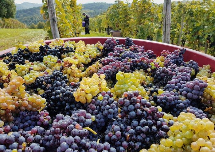 Bin full of grapes, vineyard, harvest.