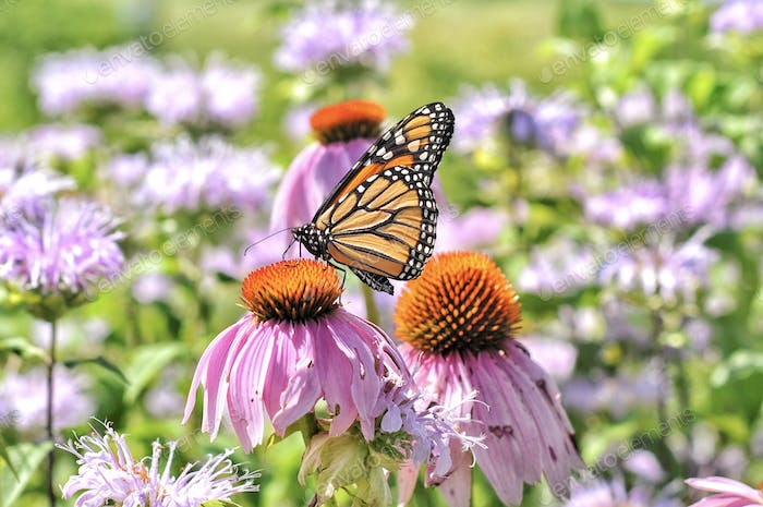 Monarch Butterfly on Coneflower       Nominated🙏🌸🙏
