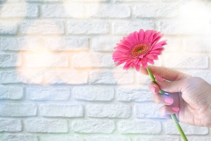 Female holding a pink gerber daisy with magical mood lighting in front of a white brick wall