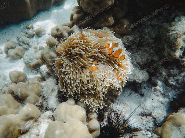 Finding nemo clown fish