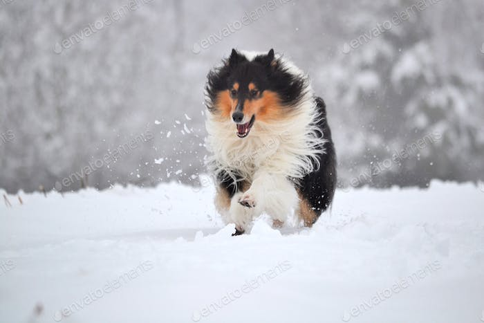 Rough collie running in the snow