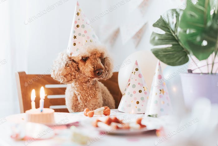 apricot poodle dog celebrates its birthday with cake, bones and candles