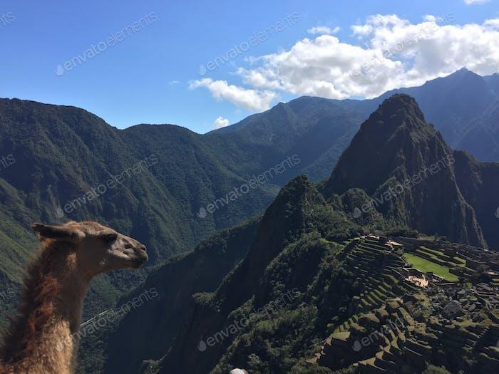 Llama bomb in Macchu Pichu