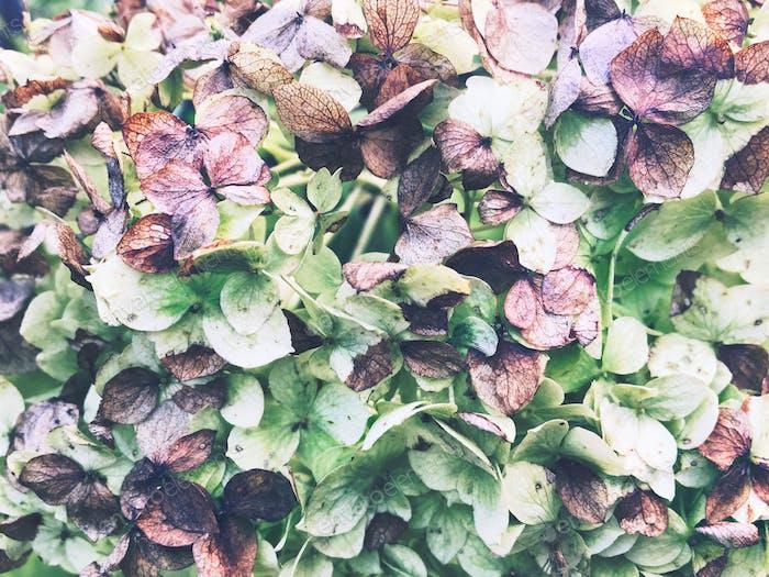 Faded hydrangea flowers