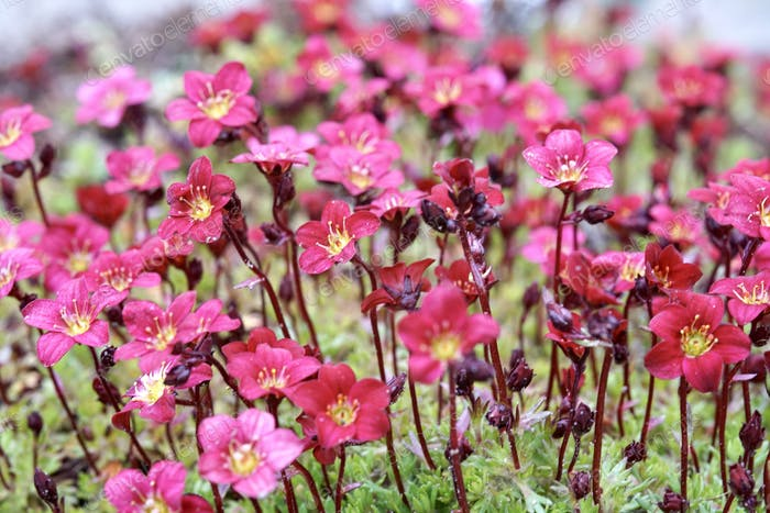 Red flower meadow