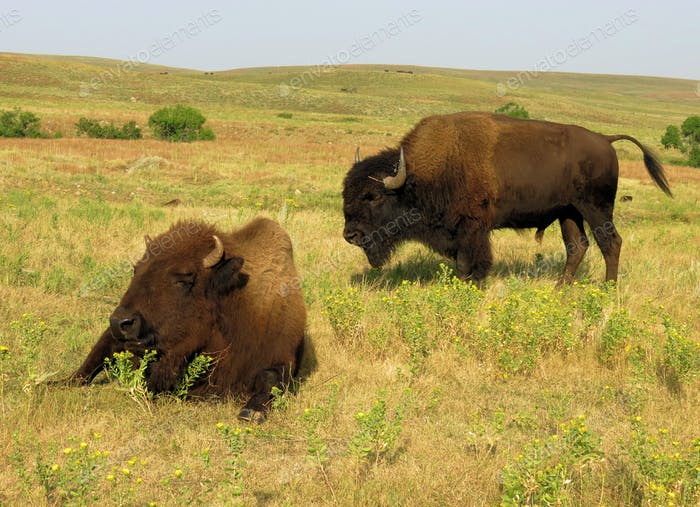 American Bison at Custer State Park, South Dakota