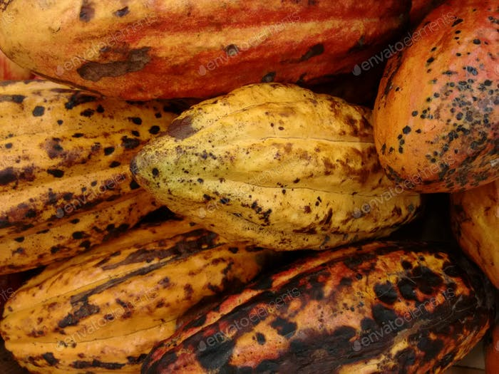 Cacoa, cacoa tree, cocoa, coco or food of the gods