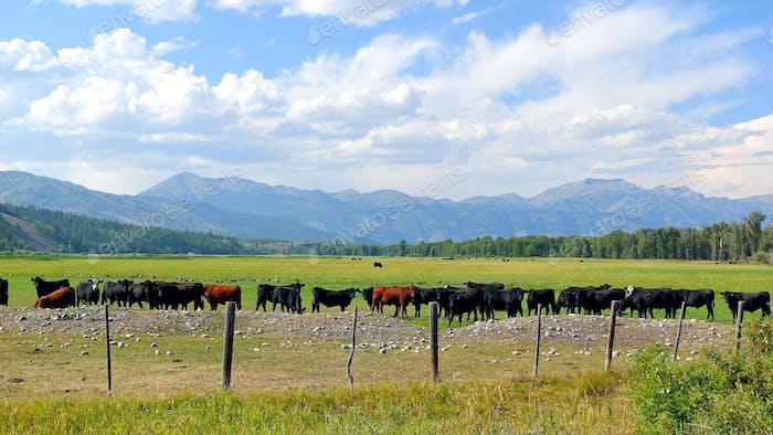 Wyoming Rinder