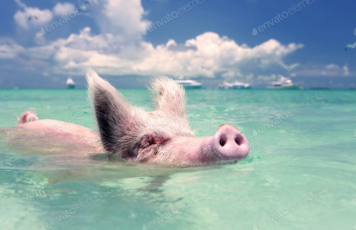 Swimming pigs in Exuma