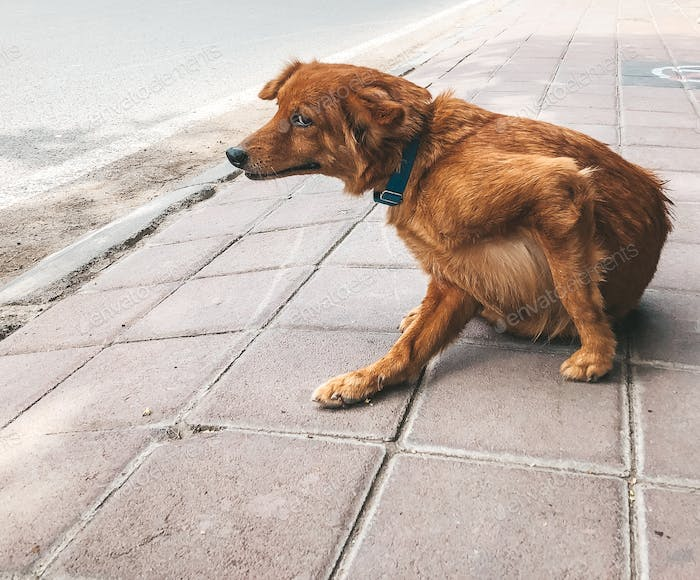 Dog on the street scratching itself