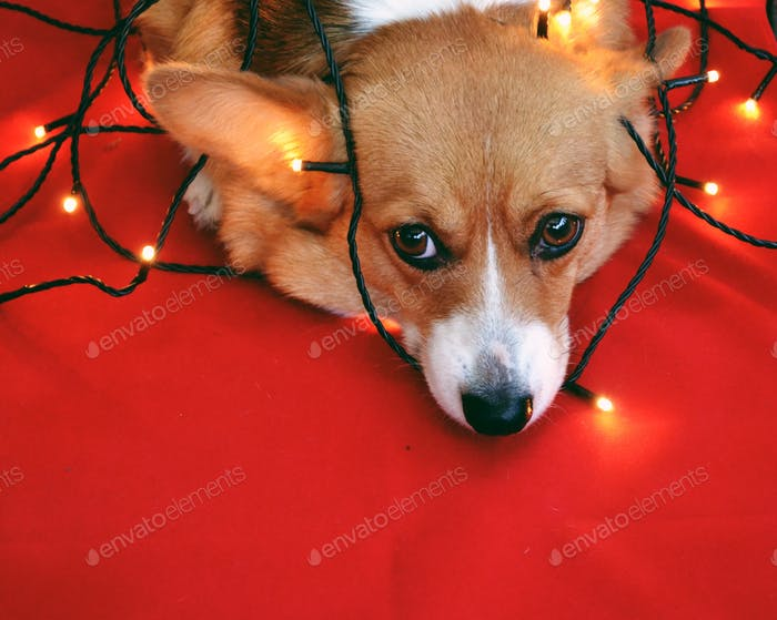 Something went wrong here... dog entangled in the light strand