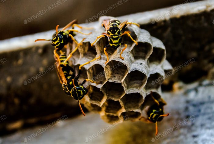 bees extract honey in the hive