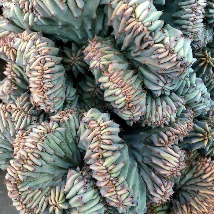 Sukkulenten Pflanze einzigartig