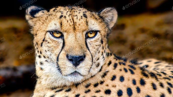 Eyes of a Hunter: Cheetah