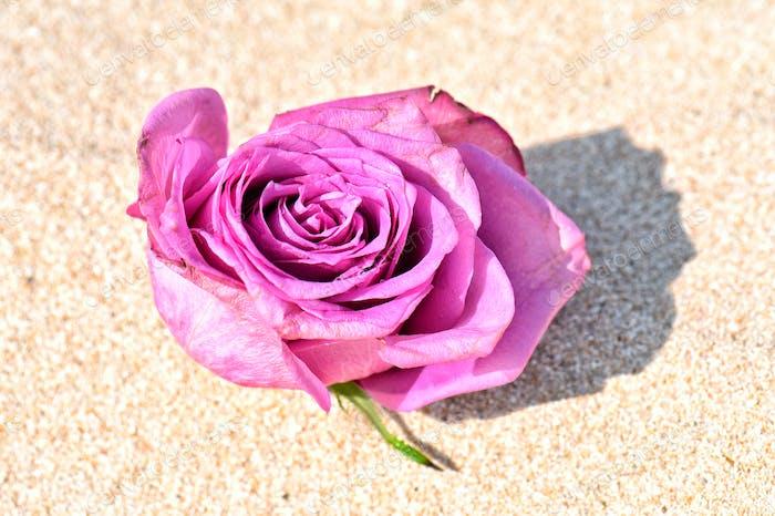DesArt Pretty pink rose in the desert sand Fine Art Still Life Single Objects on Backgrounds