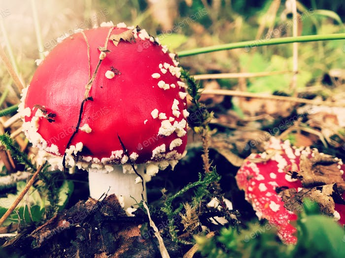 Autumn nature. Beautiful bright red mushrooms on the forest floor.