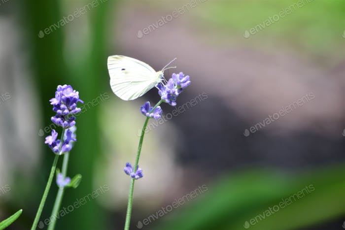 Cabbage white butterfly!! White butterflies are symbols of spiritual change.