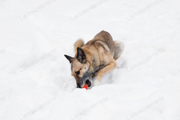 Brown and white short-haired mongrel dog is playing with orange rubber ball on the snow.