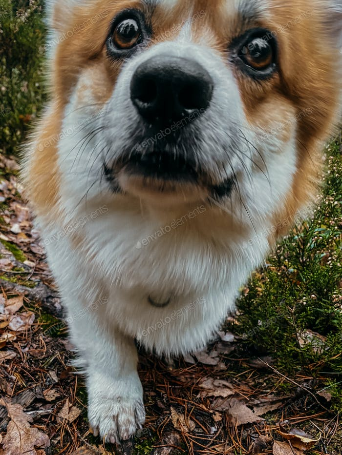 Corgi dog upclose