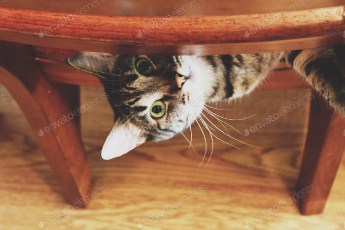 Cat peeking out from chair, looking up, feline, domestic animal.