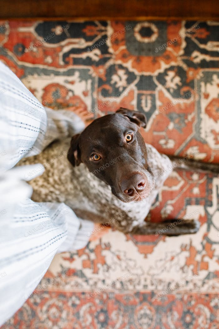 German Shorthaired Pointer at home