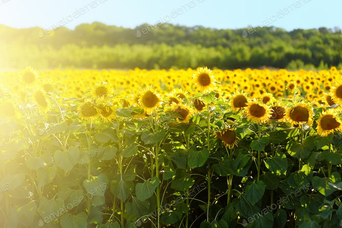 Large field of sunflowers on sunny summer day. Sunflower for the production of seeds oil